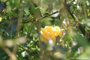 YELLOW ROSE IN HOLLY by GeaAusten