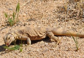 Western Chuckwalla by fosspathei