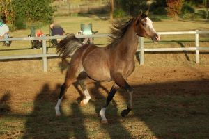 JA Arab Rose grey Troting engaged by Chunga-Stock