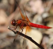 Red Dragonfly by YaoiTeachings101