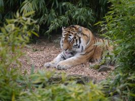 Tiger at Rest by Party9999999