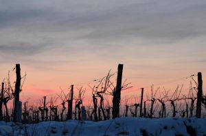 Cold evening in the vineyard by Ren10sei