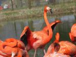 Flamingo with spread wings by jessieo-photography