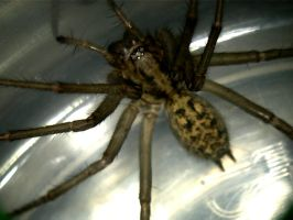 Hobo Spider at 400x by SnowLeopard217