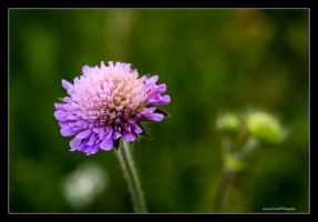 Wild Scabious by LordLJCornellPhotos