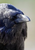 Raven-Nevermore by JestePhotography