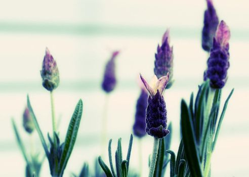 Spanish Lavender Wallpaper by angelbabiau