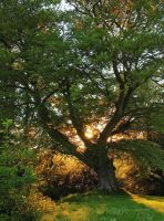 Belvoir Tree at Sunset by Gerard1972
