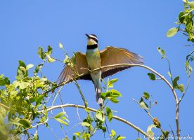 White-Throated Bee Eater 1 by Okavanga