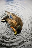 Duck in pond by fredrikaw