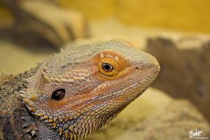 Bearded Dragon by B-O-K-E