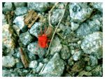 Small red beetle by What-is-worth