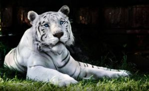White Tiger by RaynePhotography