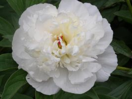 White Peony by The--Enchantress