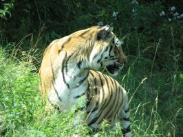 Tiger2 by iFlay
