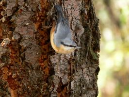 Eurasian nuthatch by 75ronin