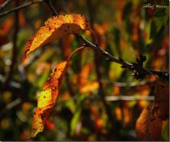 Fall leaves  2 by ShlomitMessica