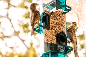 Finches at Bird Feeder by dannypyle