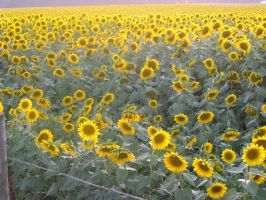 Crazy sunflowers by prettyflour