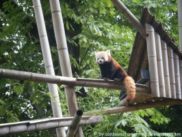 Red panda by Cansounofargentina