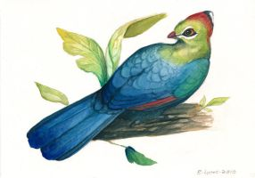 Fischer's Turaco by windfalcon