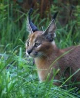 Caracal Kitten by xsiorcanna