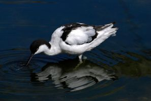 Pied Avocet.. by quaddie