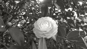 Camellia - Grey-Scale by Industrial-Pop