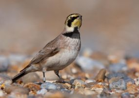 Mingling in with the shingle - Shore-lark by Jamie-MacArthur
