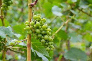 Grapes Stock III by Moonchilde-Stock