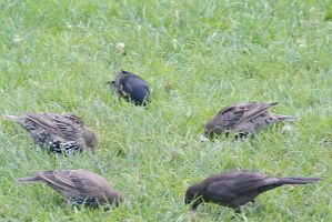 Birds On the Hunt In the Grass 3 by Miss-Tbones