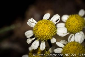 Full Size chamomile flower macro with 50mm by Caramanos2000