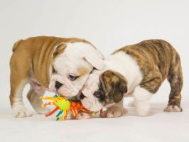 Bulldog Pups by Sabrina7777