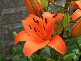 Orange Lilies by henzunducks