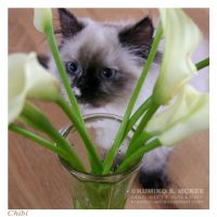 Tortie Point Himalayan Cat 3 by Kumiko-Art
