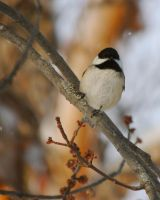 Chickadee by ragingviolence