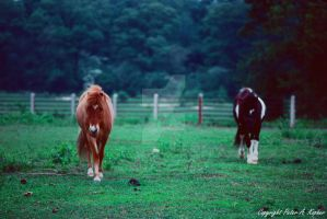 Two Horses copyright by peterkopher
