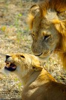 Lions Making Love by CunisiaInc