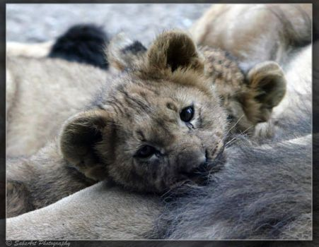 Tired baby lion by SabsArt