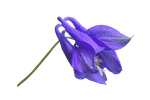 Blue Flower PNG.. by Alz-Stock-and-Art
