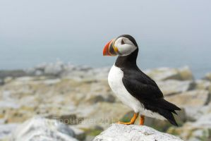 Proud Puffin-DT7 6097 by detphoto