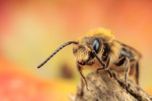 Solitary Bee by snomanda