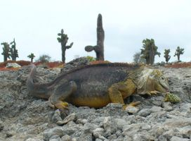 Galapagos Yellow Iguana Having Lunch by AndySerrano