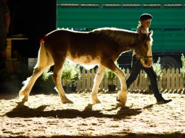 Clydesdale Youngster Walking by DWDStock