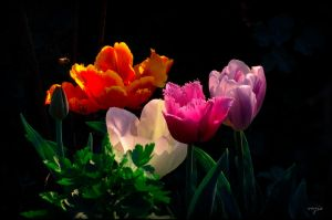 Tulips with the Bee by vojis