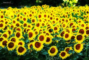 hello sunflowers. by kamilla-b