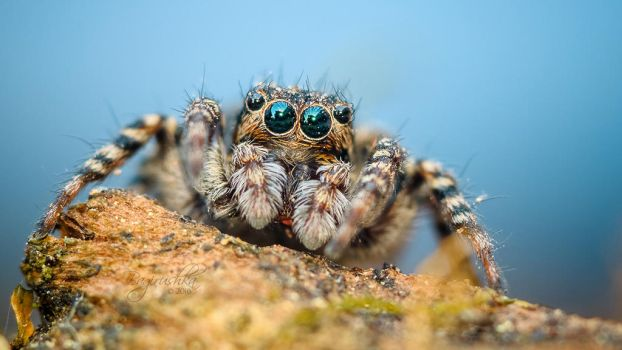 Jumping Spider by Bagirushka