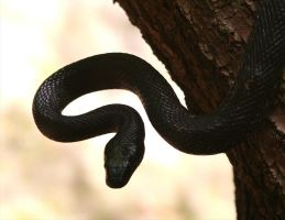 Black Rat Snake 20D0028143 by Cristian-M