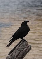 Black Currawong by prophetek