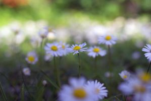 Daisy Lawn by BlackChapters